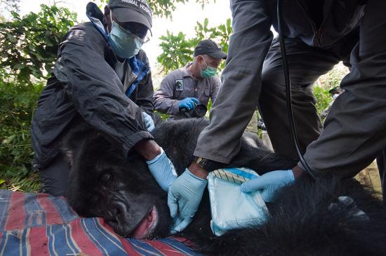 Die Gorilla-Ärzte von MGVP bei der Arbeit